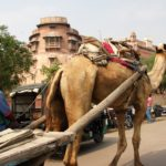 Indien Bikaner Dromedar © Women Travel