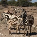 Namibia - Zebra © Women Travel