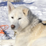 Lappland - Husky © B. Jaeggi Women Travel
